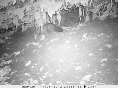 Mink captured in a camera trap by Paradise Pond