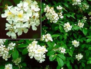 Source: http://www.nps.gov/plants/alien/fact/romu1.htm