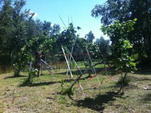 Dan Ladd tree grafting