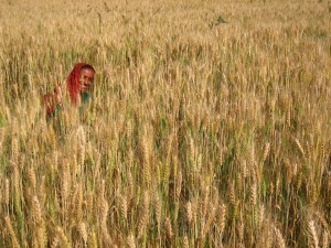 harvesting wheat (2)