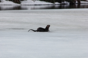 otter on ice